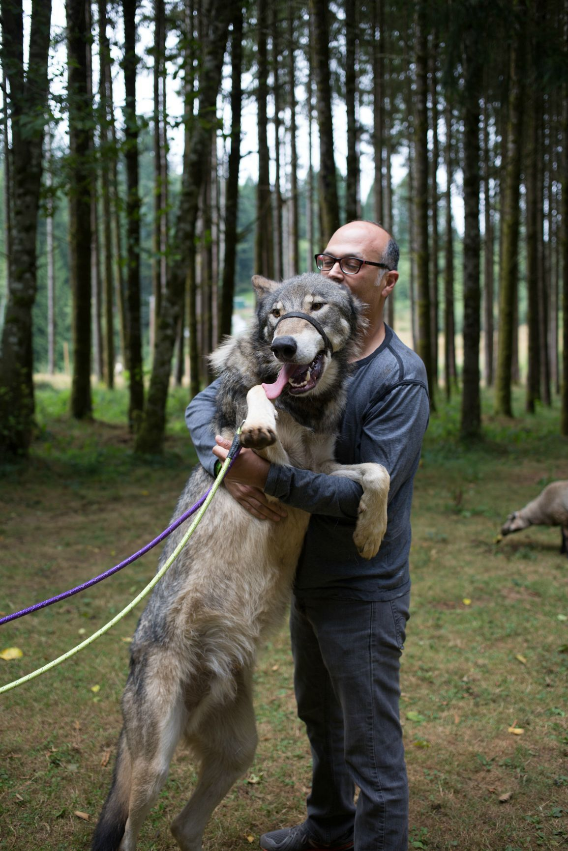 6 Month Old Wolf Puppy At Oregon Sanctuary Think You Have Enough