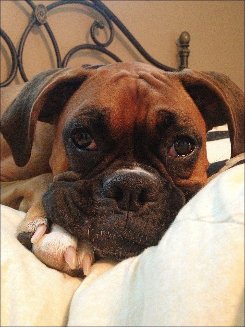 relaxed boxer boxer pinterest pfoten hunde und tr ume. Black Bedroom Furniture Sets. Home Design Ideas