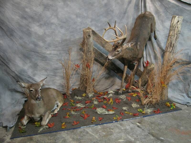 Whitetail Buck And Doe Deer Amp Wildlife Mounts