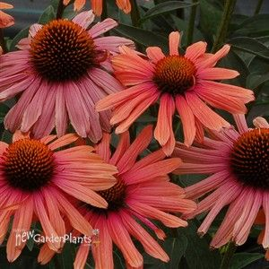 Echinacea Mama Mia Coneflower Echinacea Plants Garden Flowers Perennials
