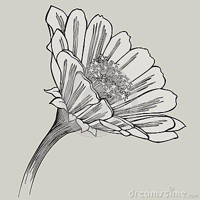 Zinnia Flower Hand Drawing Vector Illustration Flower Drawing Pencil Drawings Of Flowers Drawings