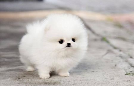 Teacup Pomeranian Puppy Maggie Dogs Animals Background