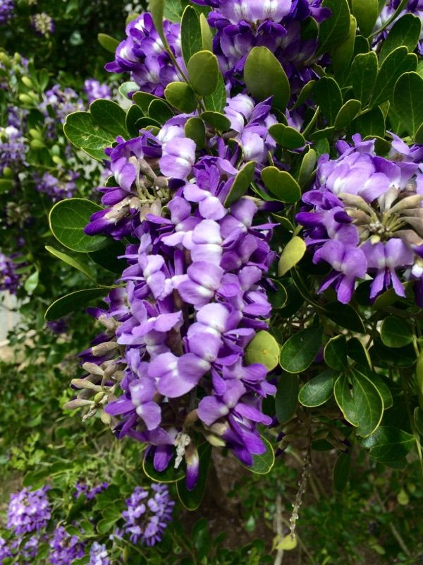 By Garden Answers Plant Id App This Texas native shrub is