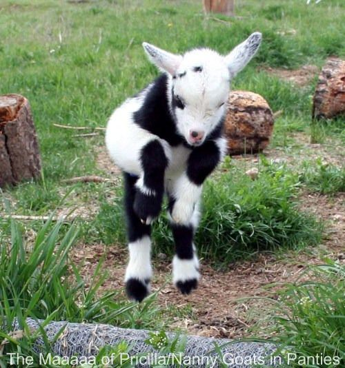 Cute Baby Goat Jumping
