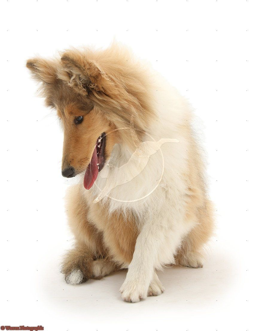 Rough collie more dogs pinterest rough collie collie and dog