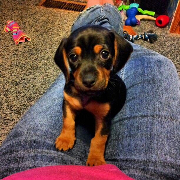 Doxle Dashund And A Beagle So Cute Adorable Pinterest Dogs
