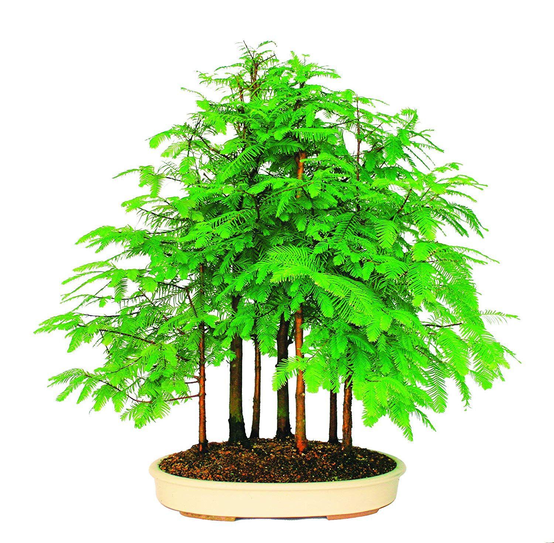 Brussels live dawn redwood grove outdoor bonsai tree 7