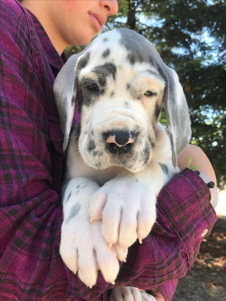 Those Paws Though Dane Puppies Great Dane Dogs Dane Dog