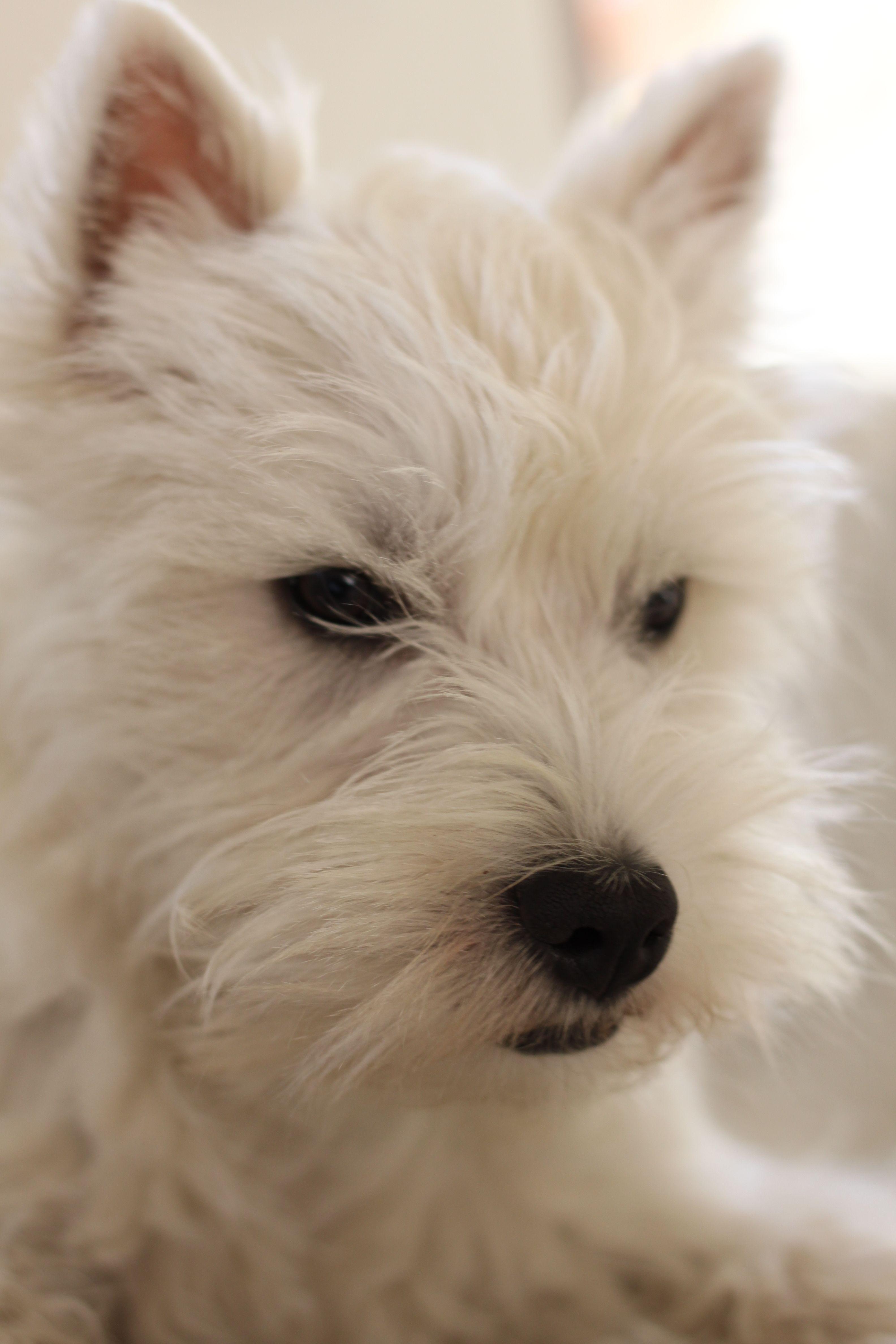 Romy 5 Mois Westie Puppy Westie Puppies Westies West Highland