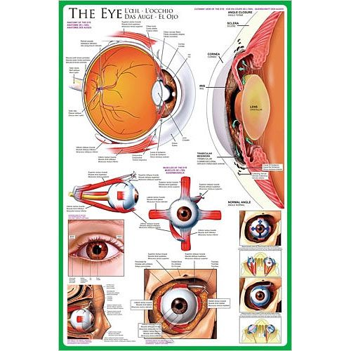 The Eye Anatomy Poster At Xump 05 Health Pinterest Eye