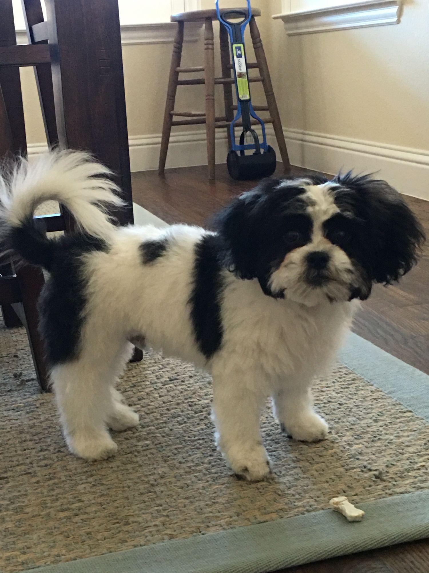 Shichon puppies for sale in kentucky - Shichon Haircut Kentuckypuppy Lovehaircuts