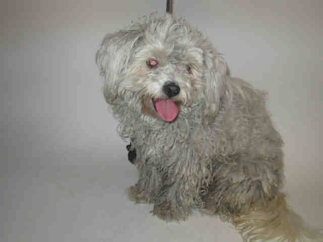 ★❥★ADOPTED★❥★~ Animal ID #A1556148   ‒ I am a Unknown Gender, White Miniature Poodle. The shelter does not know how old I am. I have been at the shelter since May 16, 2015.   Harbor Animal Care and Control Center  Telephone ‒ (888) 452-7381 957 North Gaffey St San Pedro, CA Fax: (310) 548-7428 https://www.facebook.com/OPCA.Shelter.Network.Alliance/photos/pb.481296865284684.-2207520000.1432210029./822753467805687/?type=3&theater