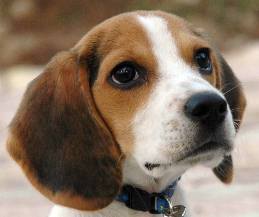 Beagle Puppy Naughty puppies Pinterest Beagle, Dog