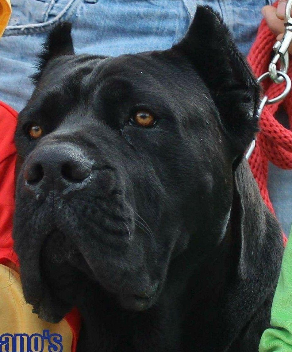 Cane Corso Dogs Cane Corso Dog Dog Pounds Corso Dog