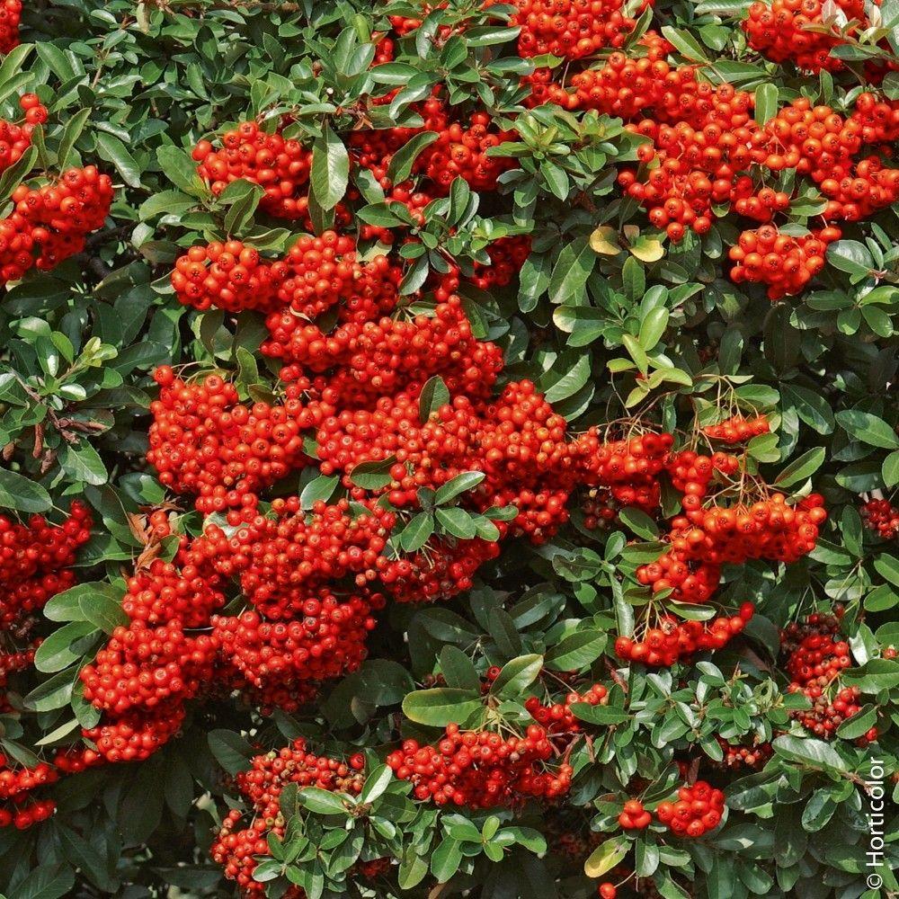 Arbuste Nain Persistant Plein Soleil pyracanthas saphyr ® rouge, arbustes pour haies. fleurs