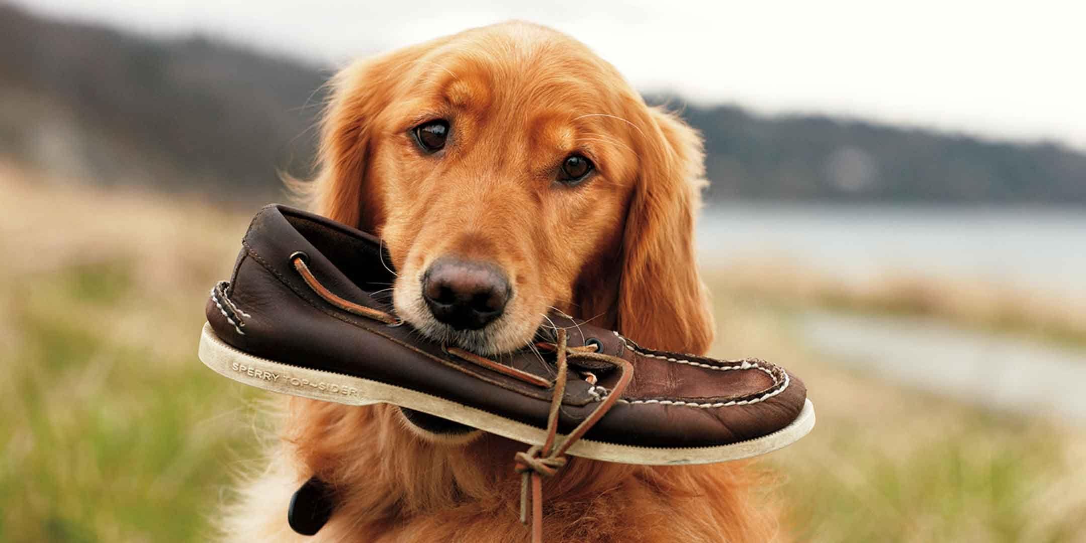 Sperry Top Sider Advert Golden Retriever Dogs I Love Dogs