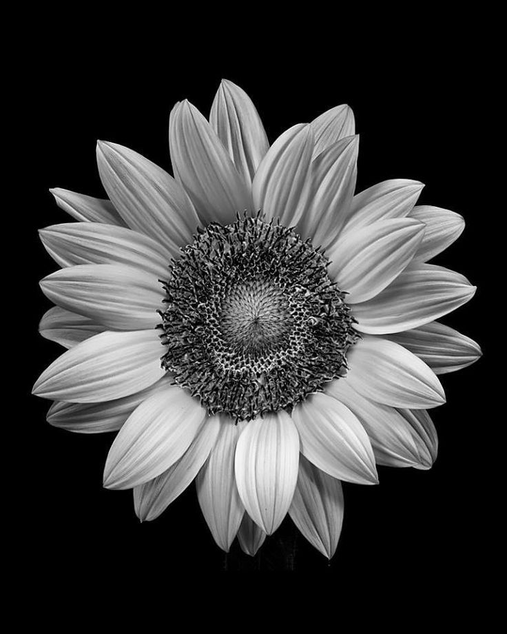 Sunflower pictures black and white pinned by cecilia acevedo vazquez