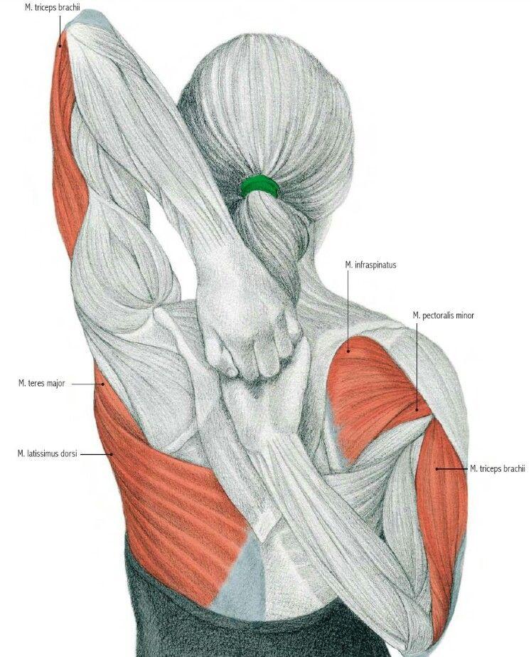 Pin de Flor Navarro en GYM ❤ | Pinterest | Estiramiento, Anatomía y ...