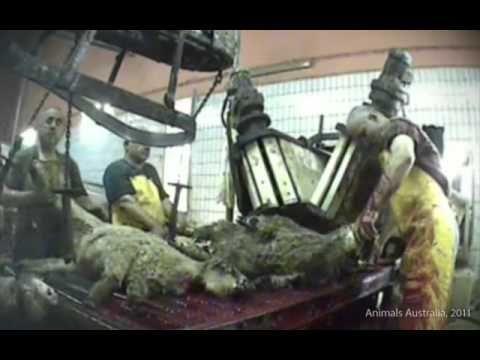 Shocking 'International Standards' for live animal export