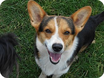 Pin By Vicki Kay On Adopt Me Corgi Mix Corgi Pets