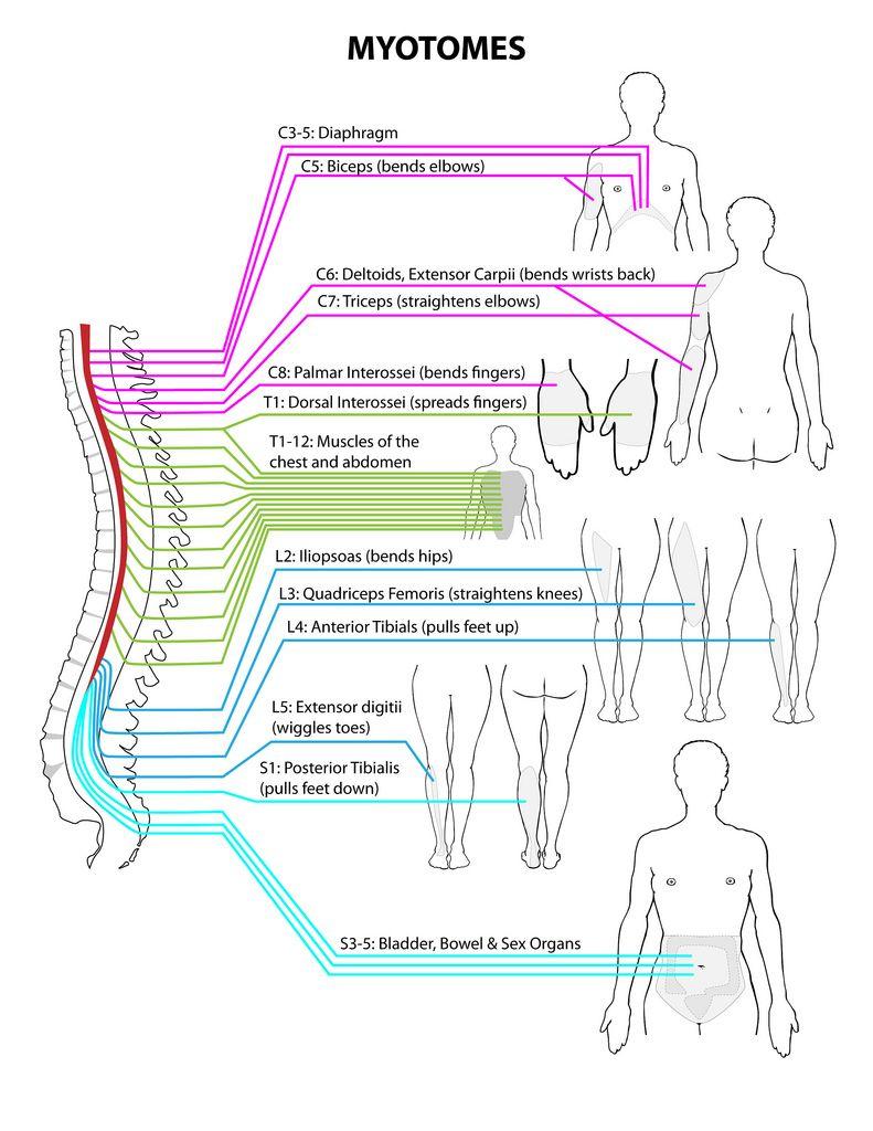 Myotomes (Spine To Body Reference) | nervios | Pinterest ...