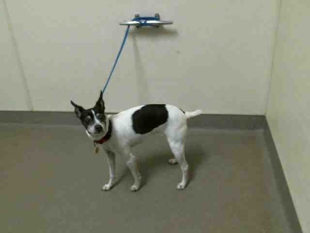 Rat Terrier Dog For Adoption In Denver Co Adn 696641 On