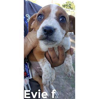 Mesa Az Boxer Blue Heeler Mix Meet Evie A Puppy For Adoption Http Www Adoptapet Com Pet 17185851 Mesa Arizona Boxer Mix Pets Puppy Adoption Boxer