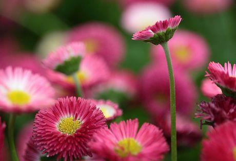 Bellis English Daisy Bellis Perennis Plants Planting Flowers