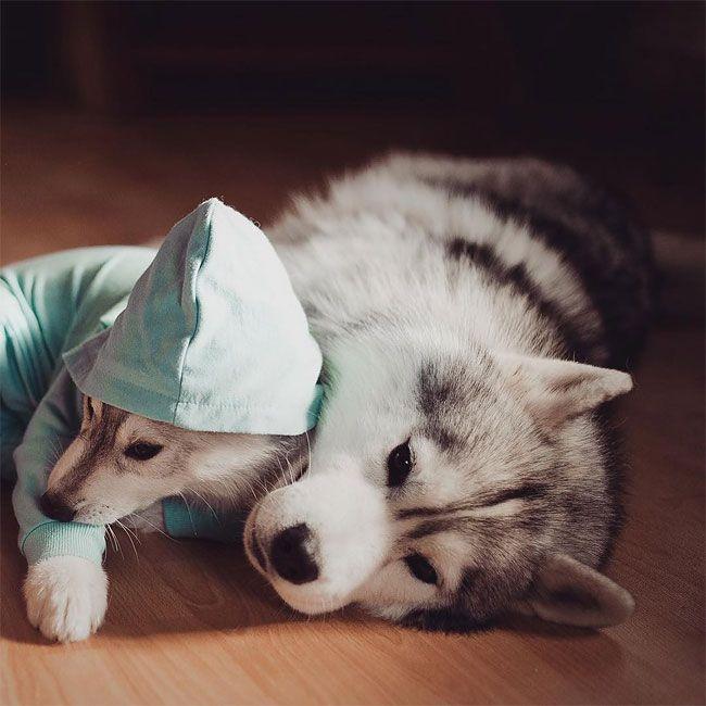 Siberian Huskies In Human Clothes