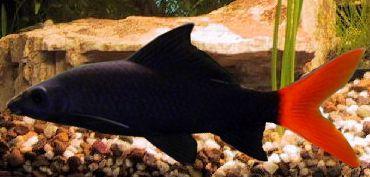 Pin On Ornametal Fish