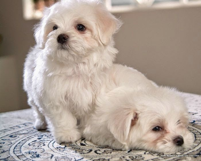 White Maltese Puppies Https Www Etsy Com Shop Artdesignshop Ref