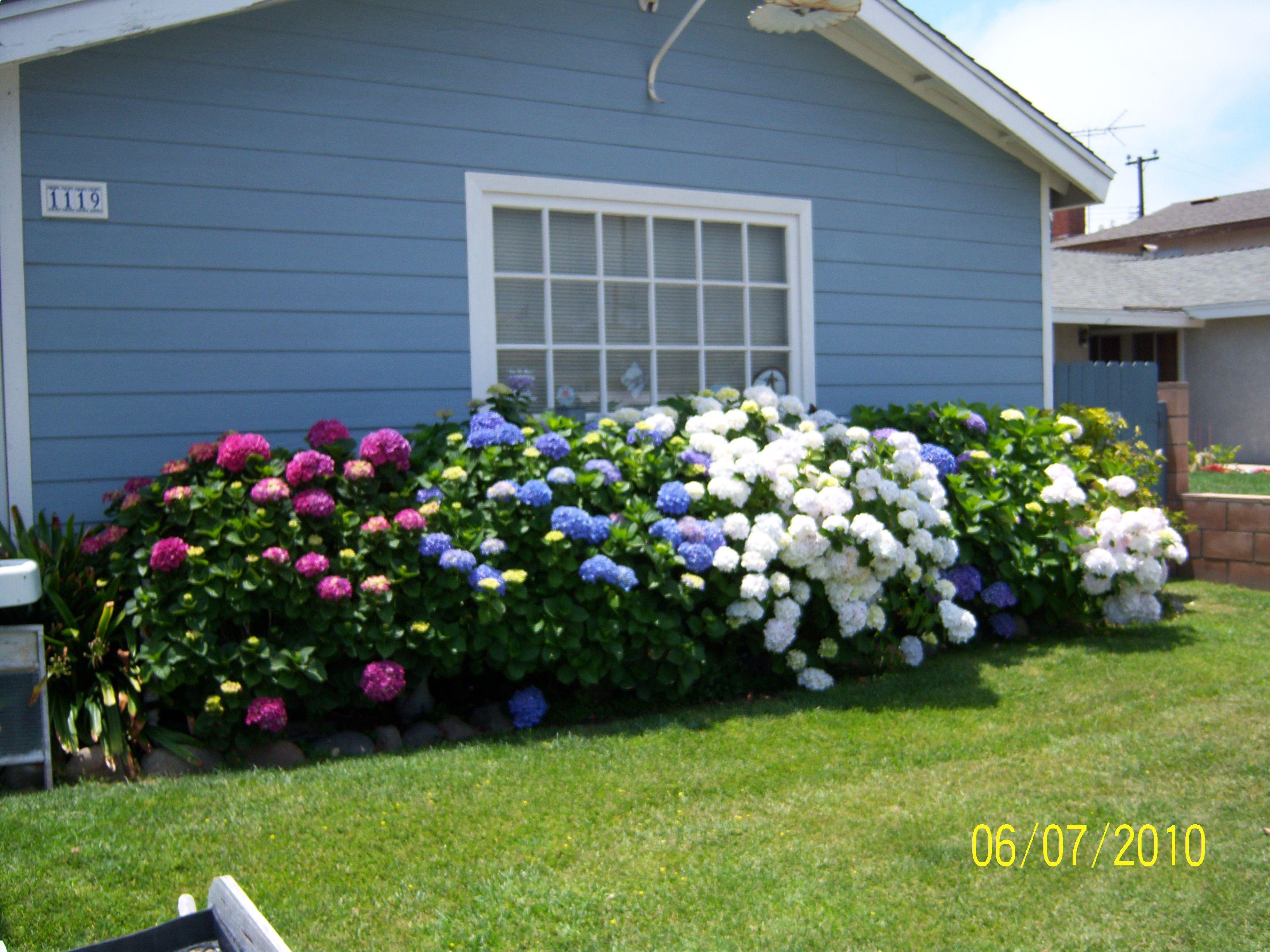 Someday I Want Huge Hydrangea Bushes Next To My House