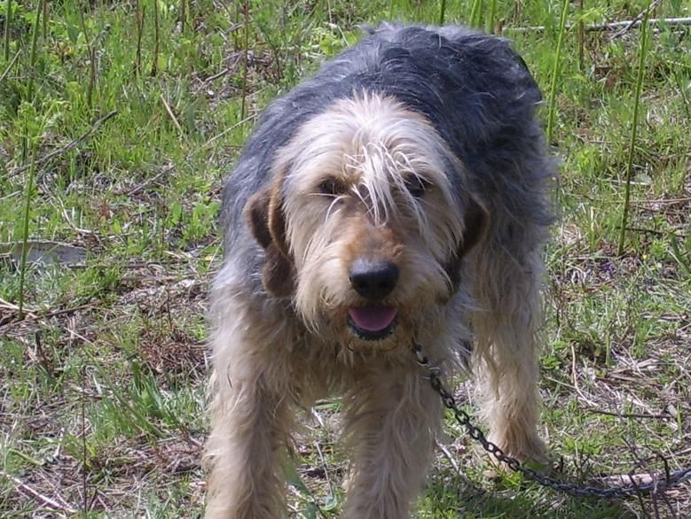 ♥RDS♥ 34  Bosnian Coarse Haired Hound