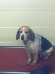 Daisy Urgent A P4 Is An Adoptable Beagle Dog In Pikeville