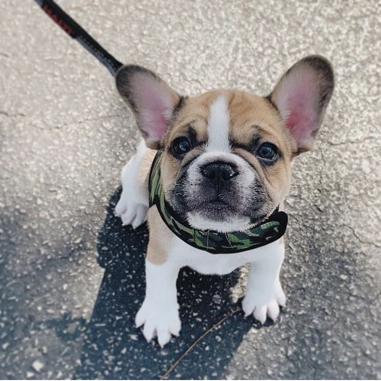 Daily French Bulldog News On Instagram Good Morning