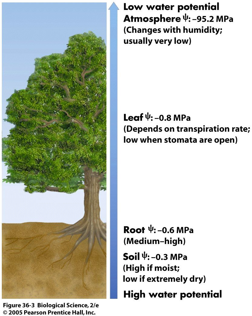Tree Potential Jpg 834 1048 Low Water Soil Science Biology