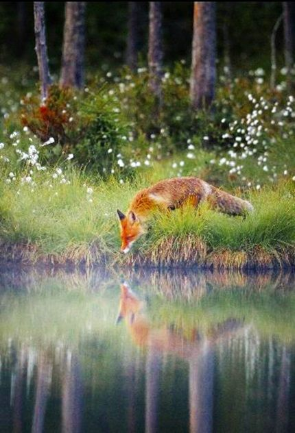red fox reflection simply stunning pinterest tiere fuchs und niedliche tiere. Black Bedroom Furniture Sets. Home Design Ideas