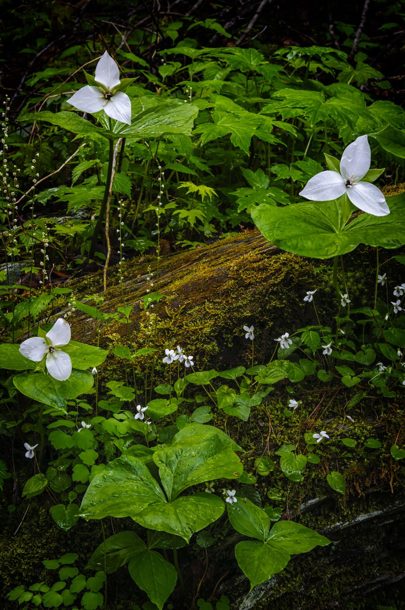 Forest Floor - Trillium, white violets, and bishop's cap