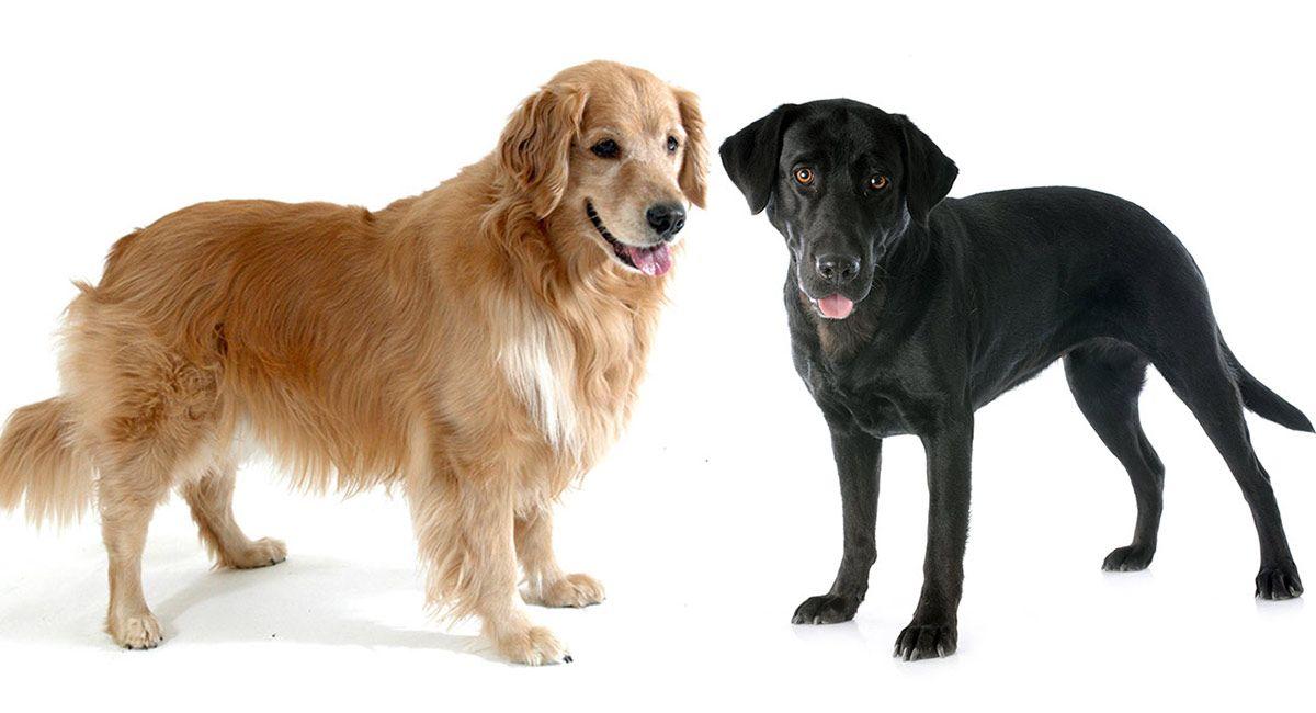 Golden Retriever Vs Labrador Golden Retriever Vs Labrador