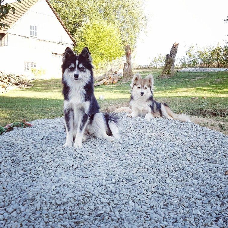 Pomskys Vom Fichtelhof Hunde Neue Eltern Graben