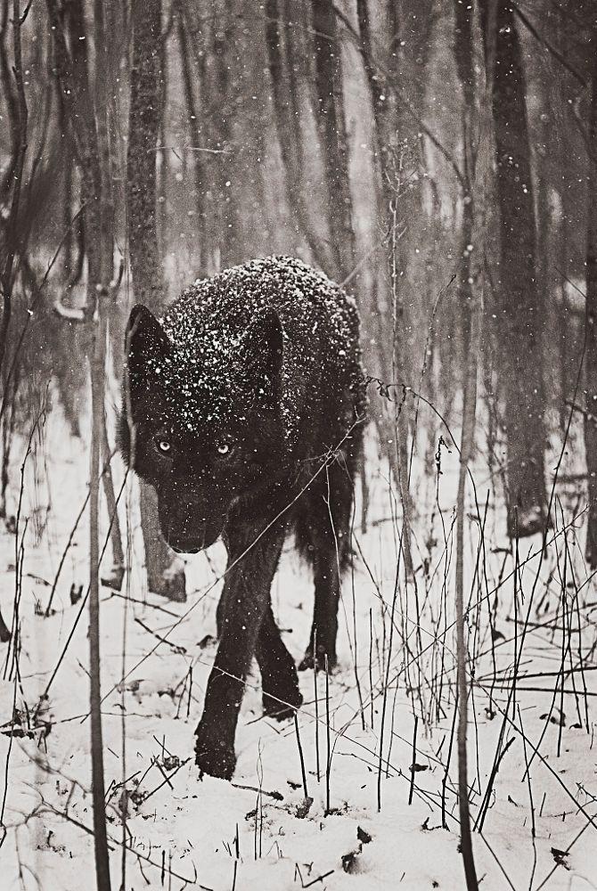 Snow Wolf by Rachel Lauren on 500px