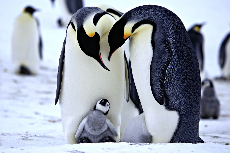 optimisme #powerpatate Cute Penguin Wallpaper Penguins wallpapers cute |  Penguins, Baby animals, Cute penguins