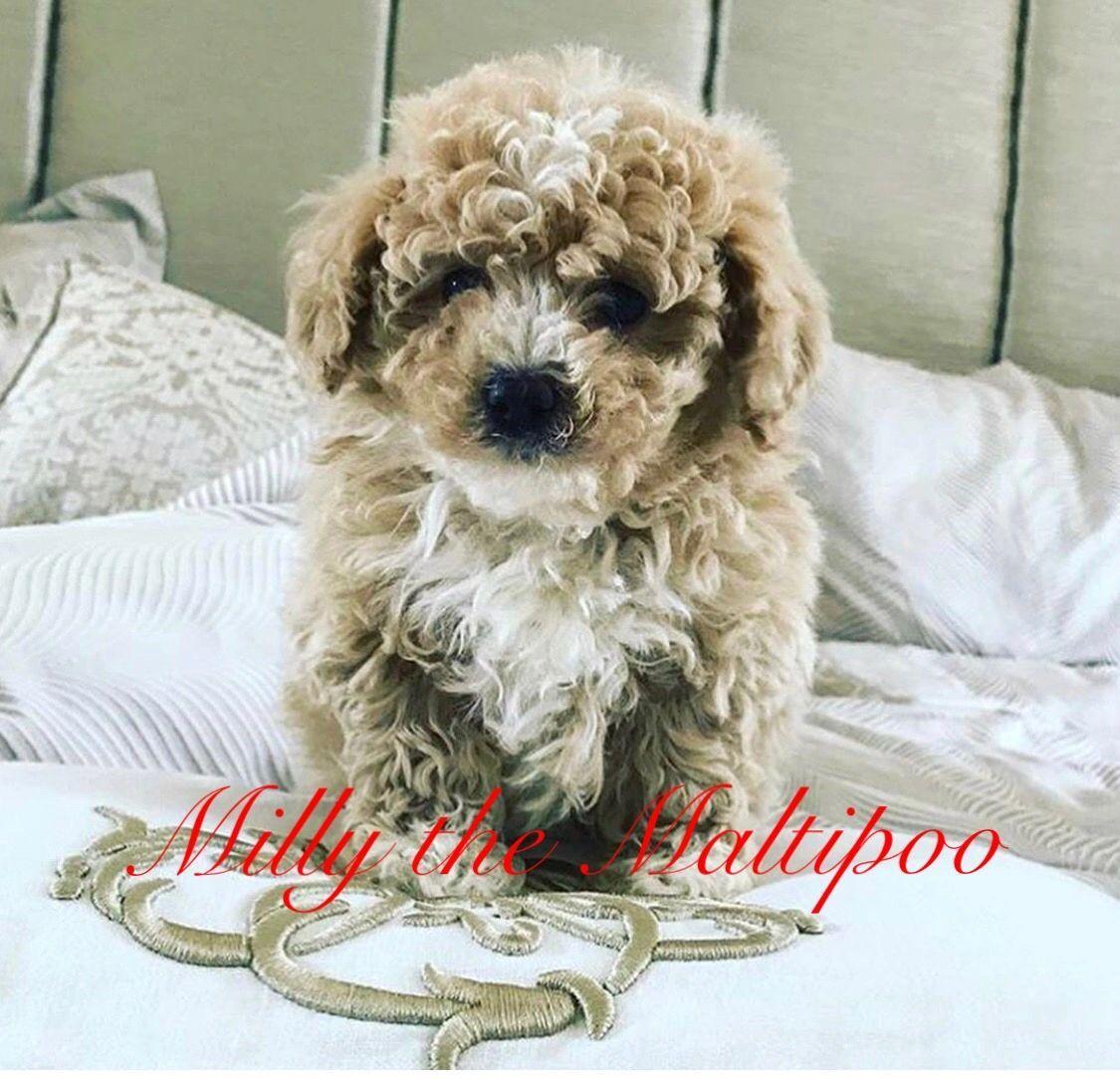 Posh Poos Maltipoo, Cavapoochon, Puppies Cavapoochon