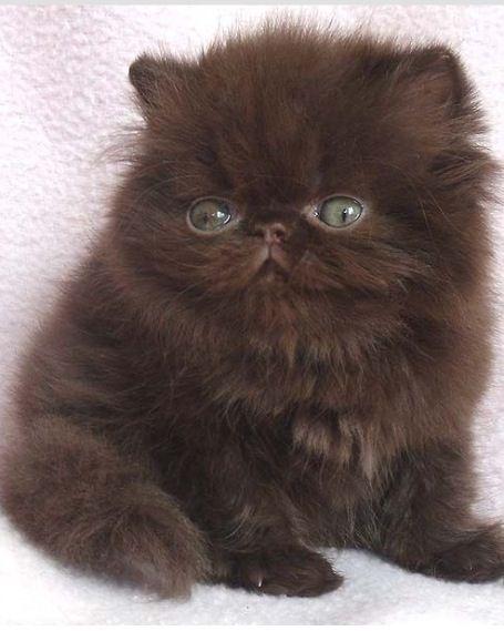 Chocolate Cute Cats Kittens Cutest Cute Animals