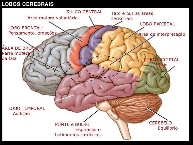 Neuroanatomia e o conceito (com imagens) | Lobos cerebrais ...