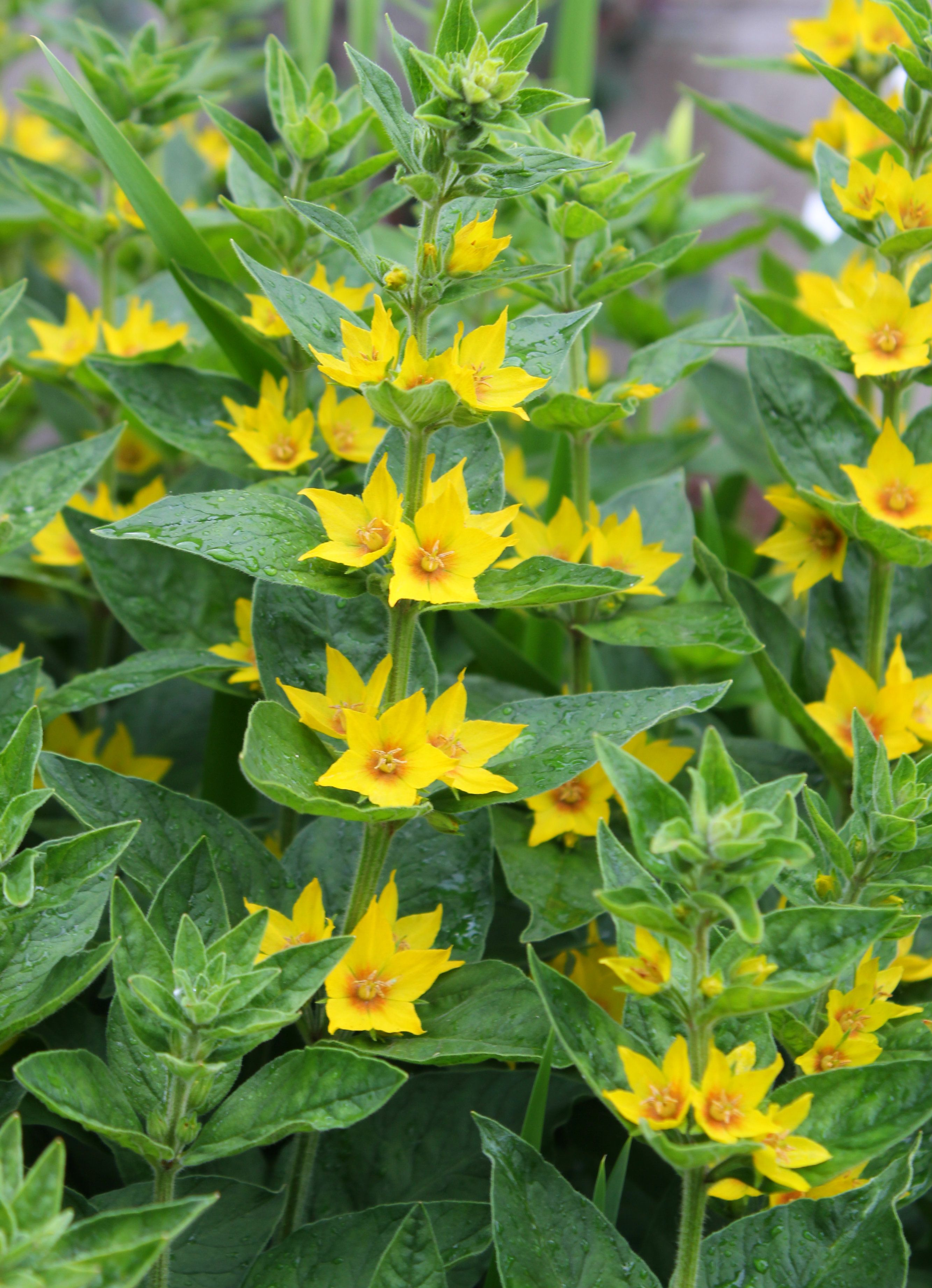 Yellow loosestrife have you ever wanted a perennial flowering plant yellow loosestrife have you ever wanted a perennial flowering plant that will grow and just take over than look no further than the yellow loosestrife mightylinksfo