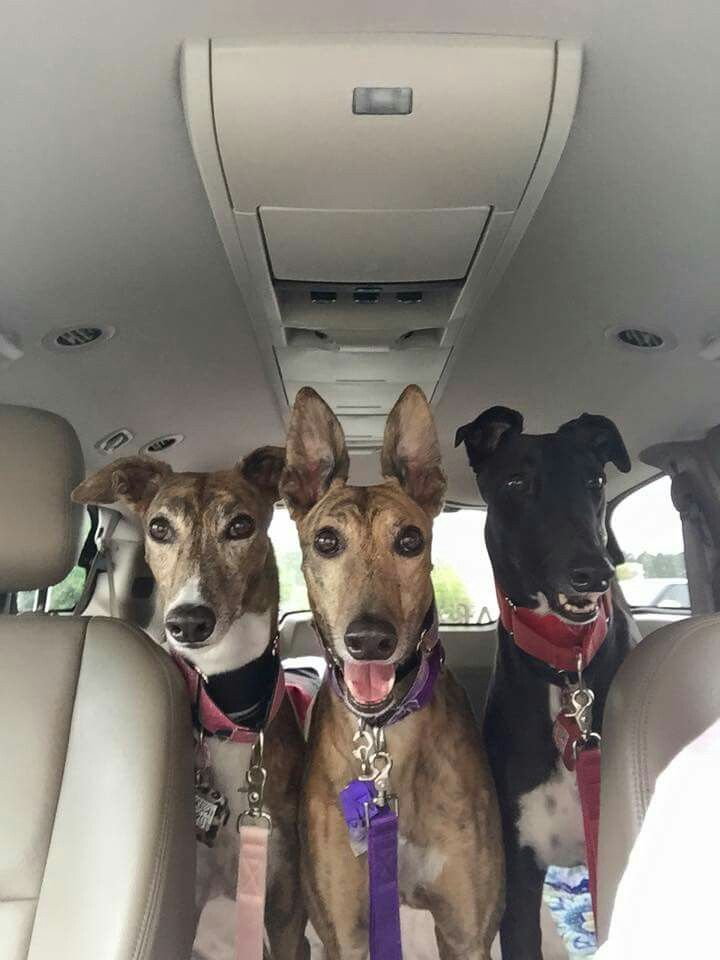 Pin By Emma Bowdrey On Galgos Whippet Dog Grey Hound Dog Pets