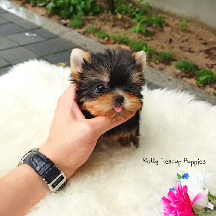 17 5k Likes 222 Comments Rolly Pups Inc Rollyteacuppuppies On Instagram Snow White Teacup Pomeranian F Teacup Puppies Cute Baby Animals Cute Animals