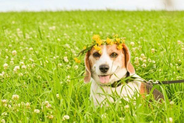 Beagle Jonna, Koira Anne | Pawshake