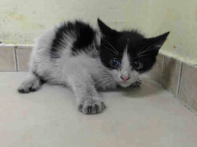 To Be Killed 10 5 Nyc Acc My Name Is Grand Id A1015981 I Am A Female Black White Kitten 8 Weeks Old Finder Of Puppy Adoption Cat Adoption White Kittens